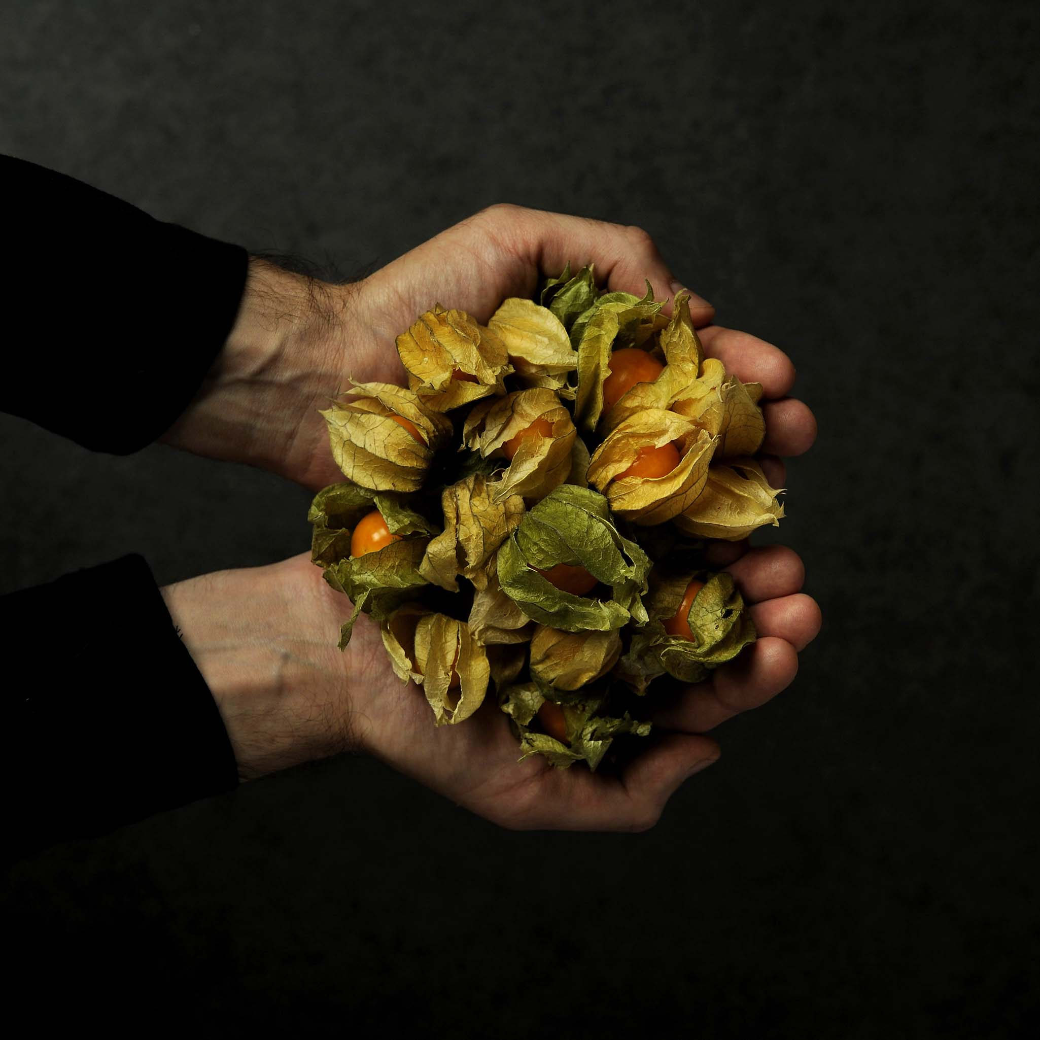 hands hold a big amount of physalis fruits